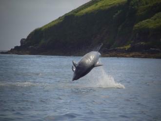 Un dauphin « ambassadeur », cherchant le contact avec l'homme, joue près de Landemer